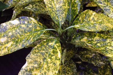 Aukuba 'Crotonifolia'