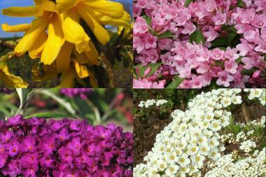 Hög blommande häck 1