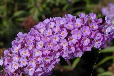 Fjärilsbuske 'Nanho Blue'