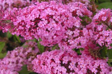 Fjärilsbuske 'Pink Delight'