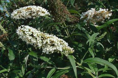 Fjärilsbuske 'White Profusion'