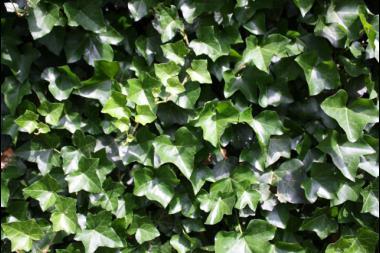 Storbladig murgröna