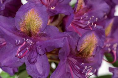 Rhododendron 'Marcel Menard'