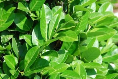 Lagerhägg 'Rotundifolia'