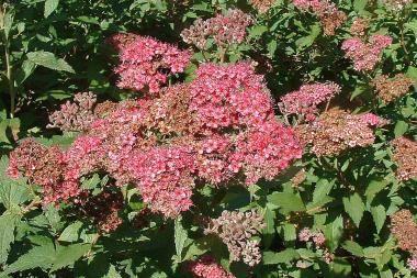 Rosenspirea 'Anthony Waterer'