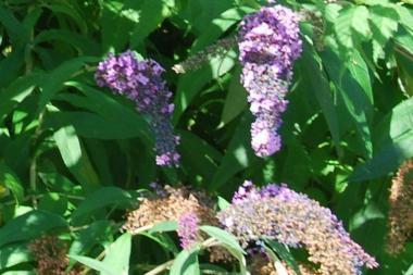Fjärilsbuske 'Lochinch'