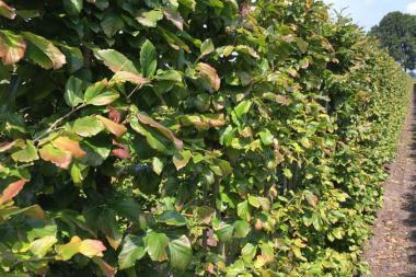 Papegojbuske (Parrotia persica 'Vanessa')