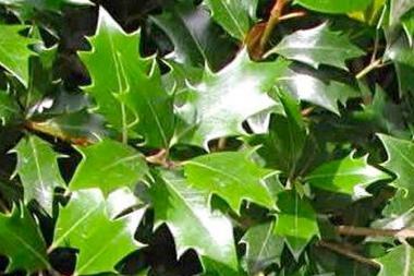 Osmanthus 'heterophyllus' (doftbuske)