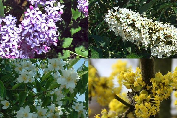 Hög blommande häck 2