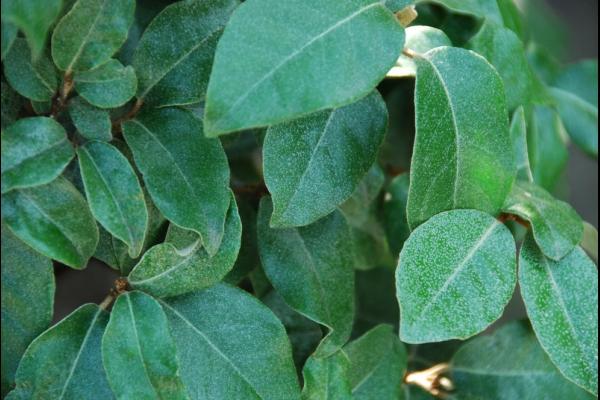 Elaeagnus