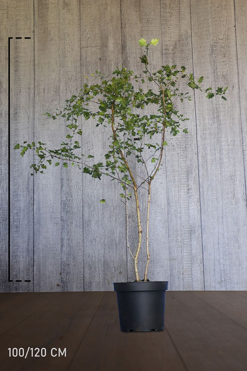 Trubbhagtorn Kruka 100-120 cm