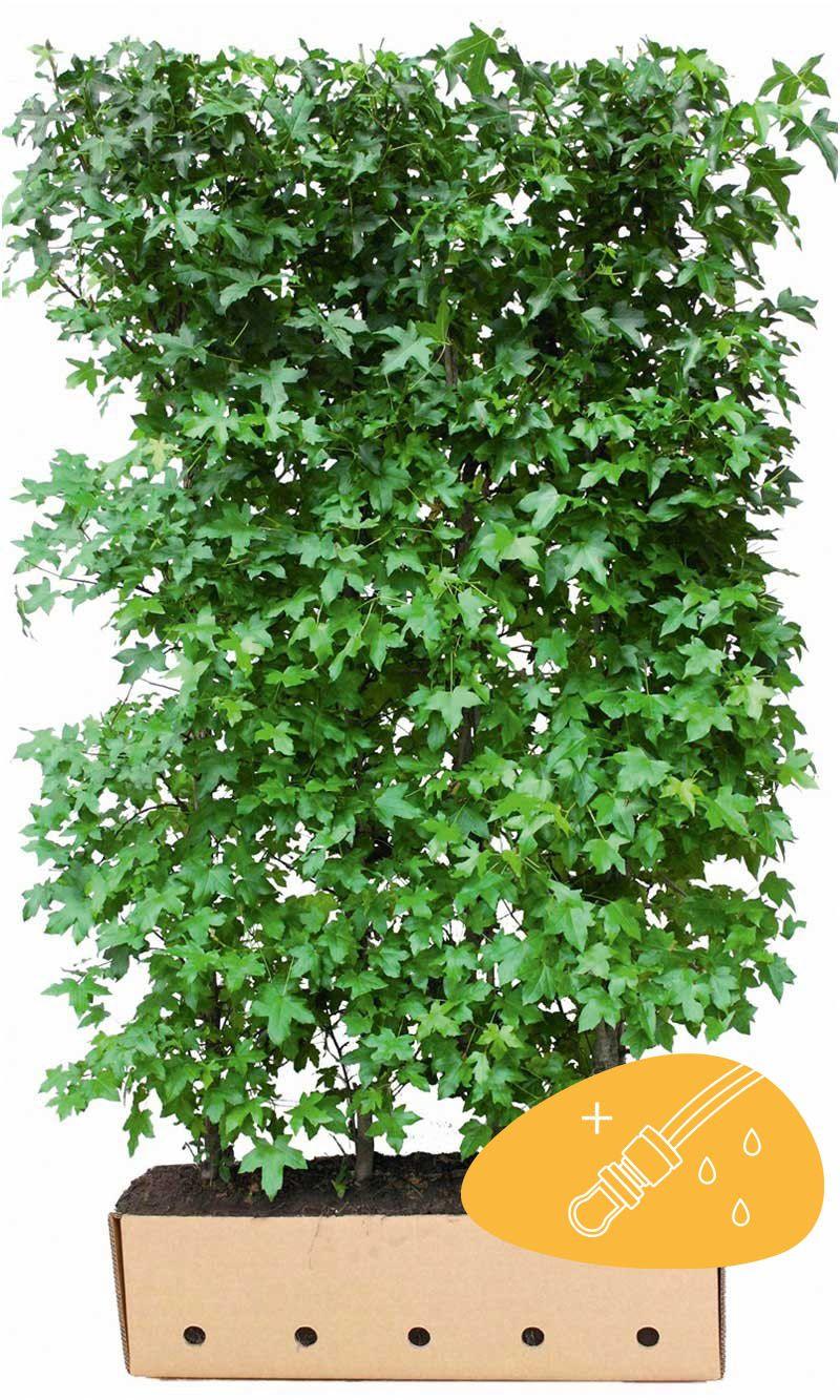 Ambraträd Färdiga häckar 200 cm Extra kvalitet