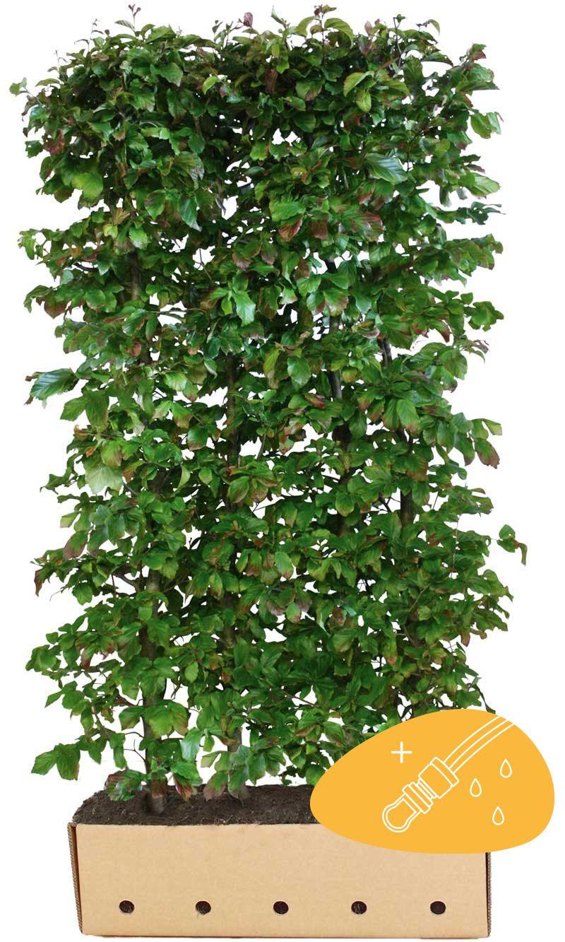 Papegojbuske (Parrotia persica 'Vanessa')  Färdiga häckar 200 cm Extra kvalitet