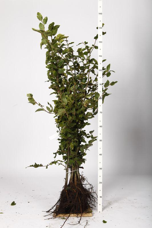 Bok Barrotad 100-125 cm