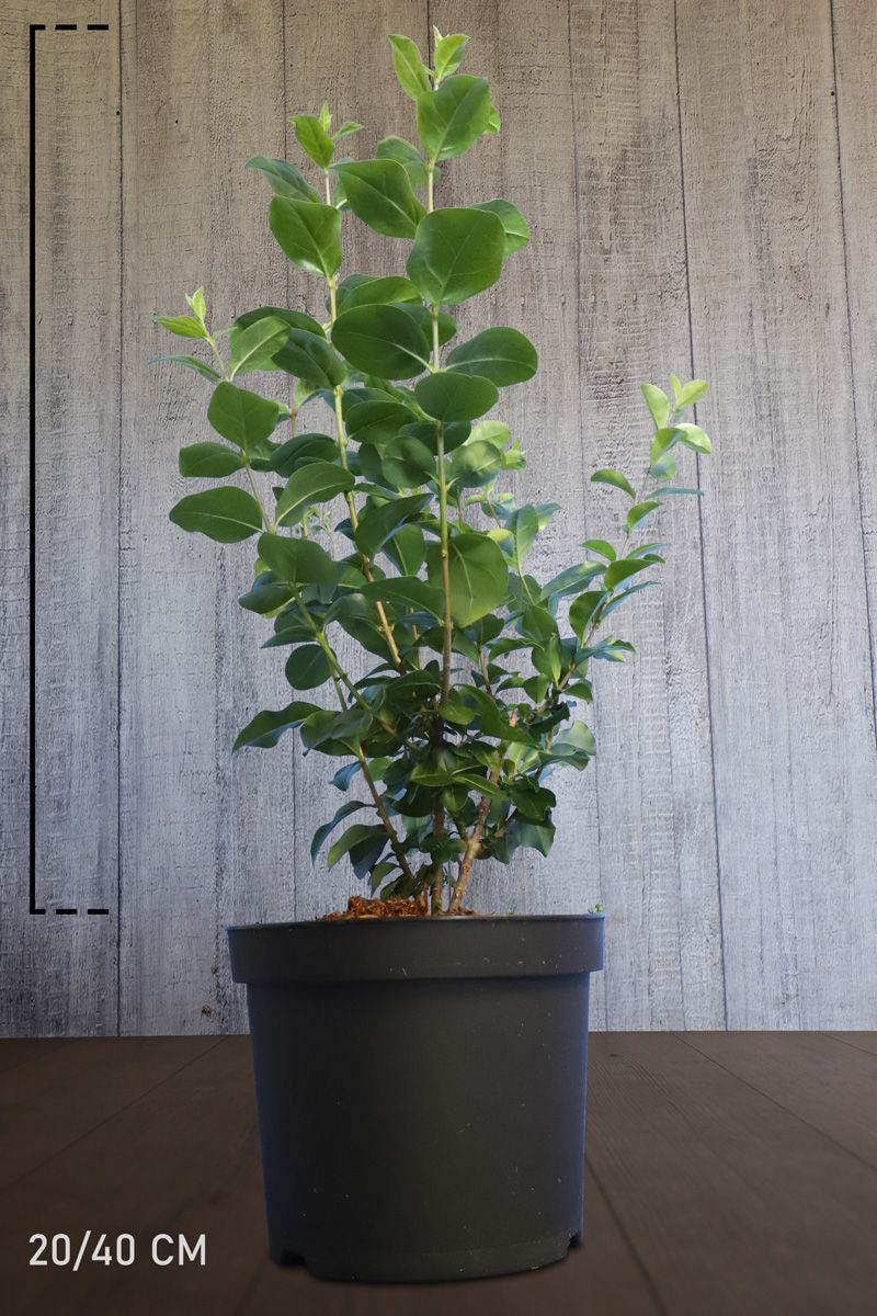Bredbladig liguster Kruka 20-40 cm