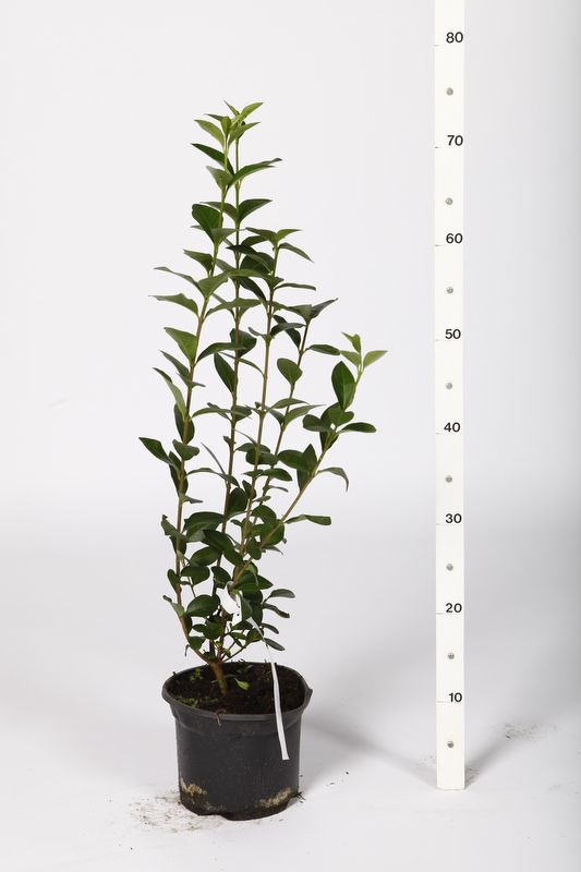 Bredbladig liguster Kruka 40-60 cm