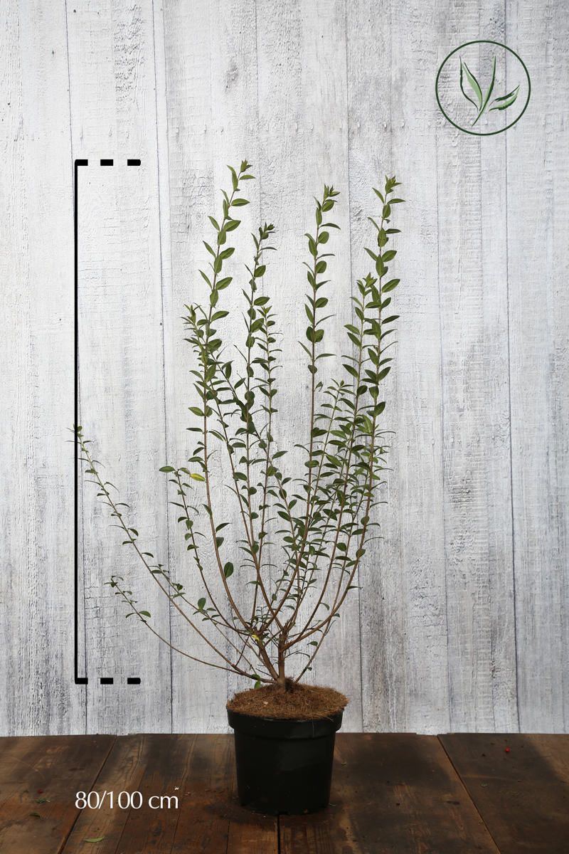 Vintergrön liguster Kruka 80-100 cm Extra kvalitet