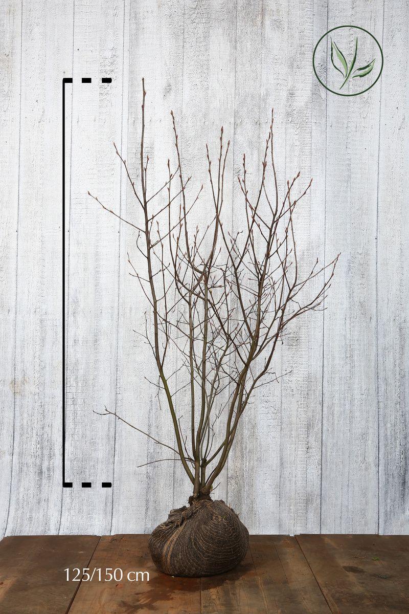 Prakthäggmispel Klump 125-150 cm