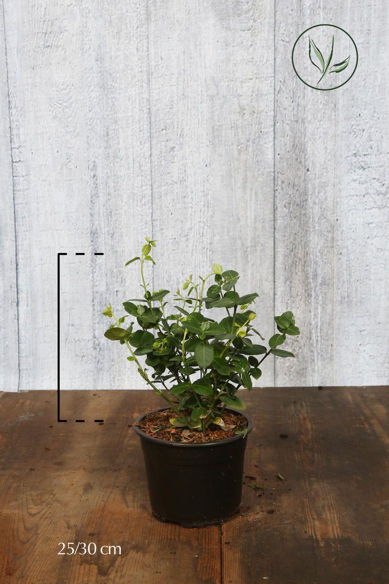 Klätterbenved 'Vegetus' Kruka 25-30 cm