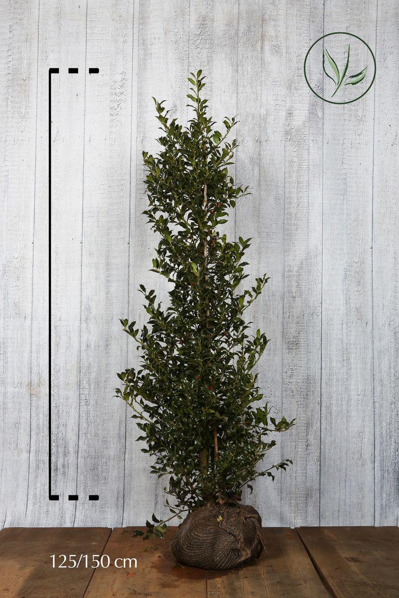 Järnek 'Alaska' Klump 125-150 cm Extra kvalitet