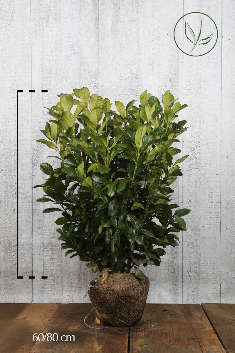 Lagerhägg 'Etna' Klump 60-80 cm Extra kvalitet