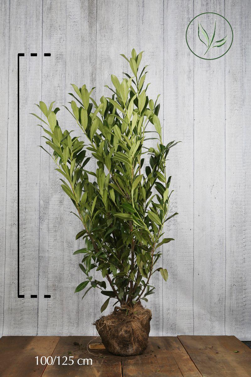 Lagerhägg 'Caucasica' Klump 100-125 cm