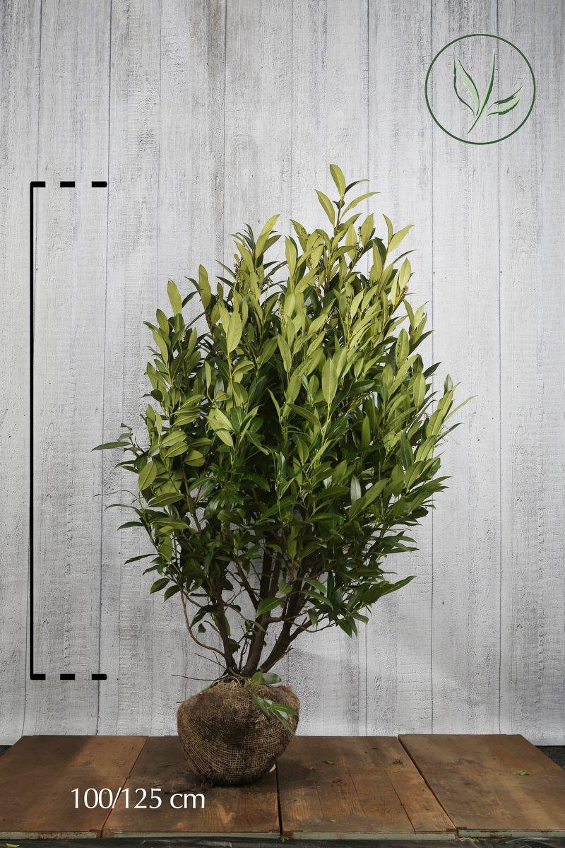 Lagerhägg 'Herbergii' Klump 100-125 cm Extra kvalitet