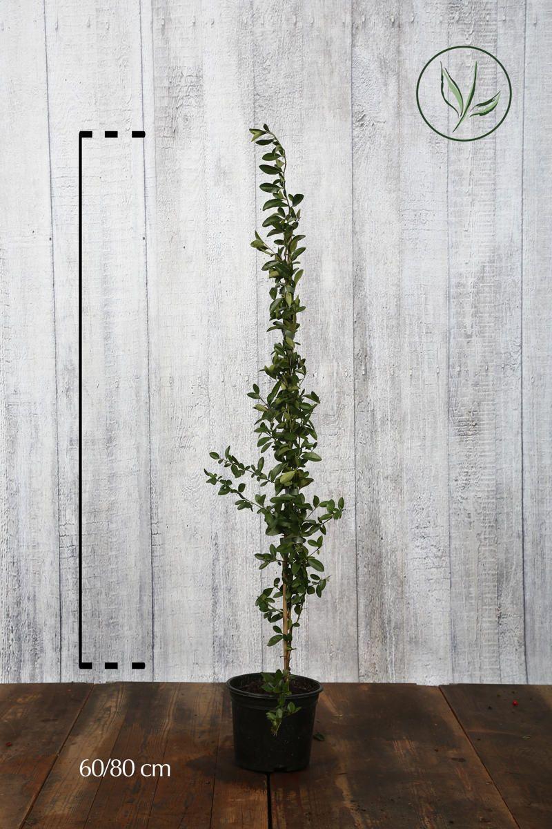 Eldtorn 'Soleil d'Or' Kruka 40-60 cm