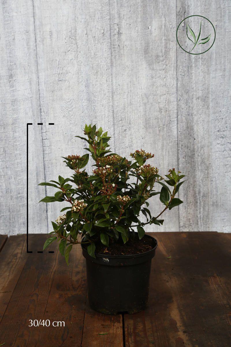 Lagerolvon Kruka 30-40 cm