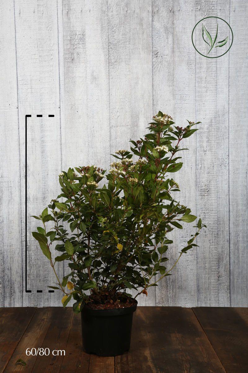 Lagerolvon Kruka 60-80 cm