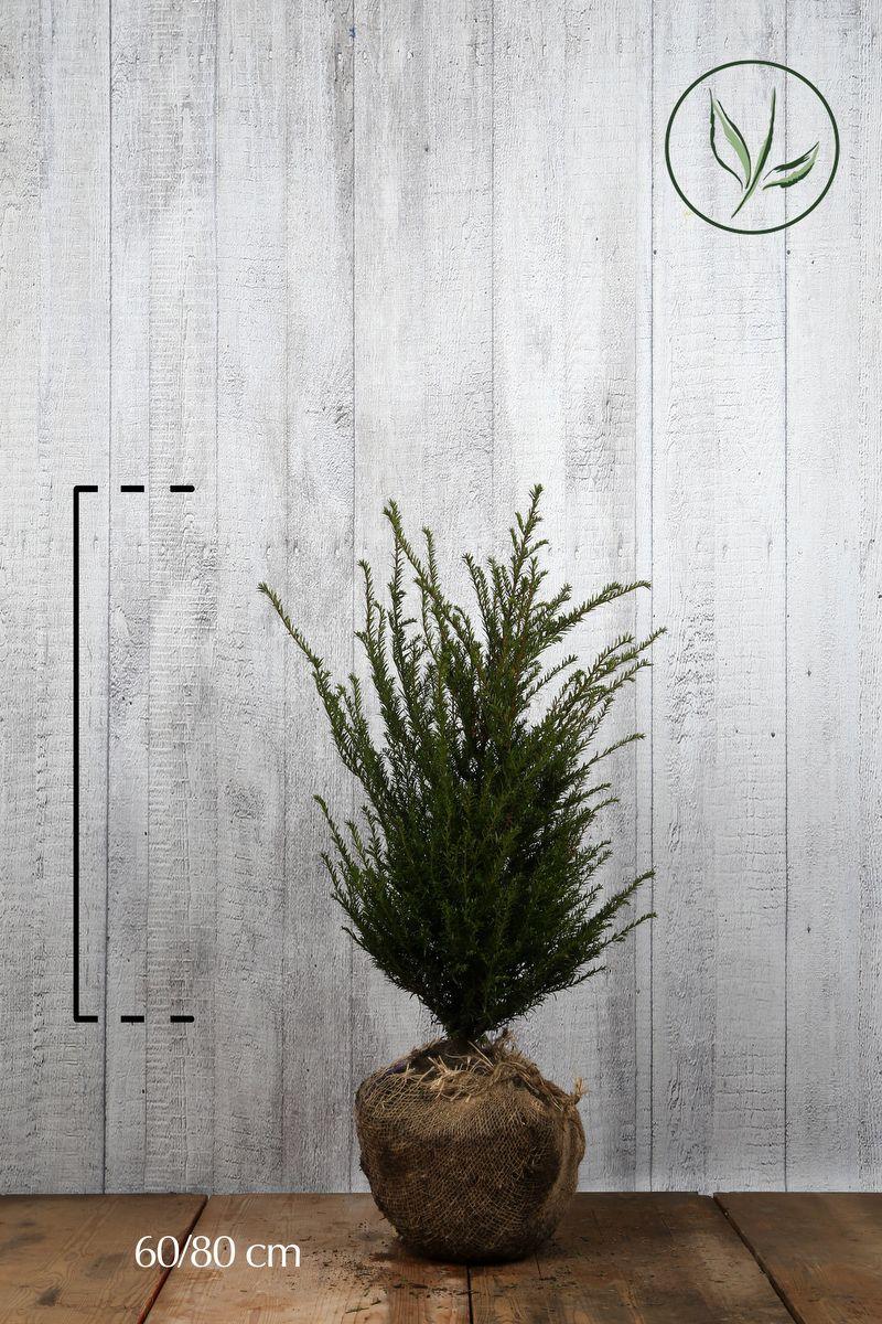 Idegran Klump 60-80 cm Extra kvalitet
