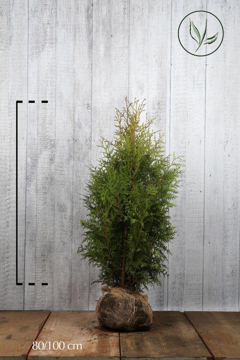 Thuja 'Brabant' Klump 80-100 cm Extra kvalitet