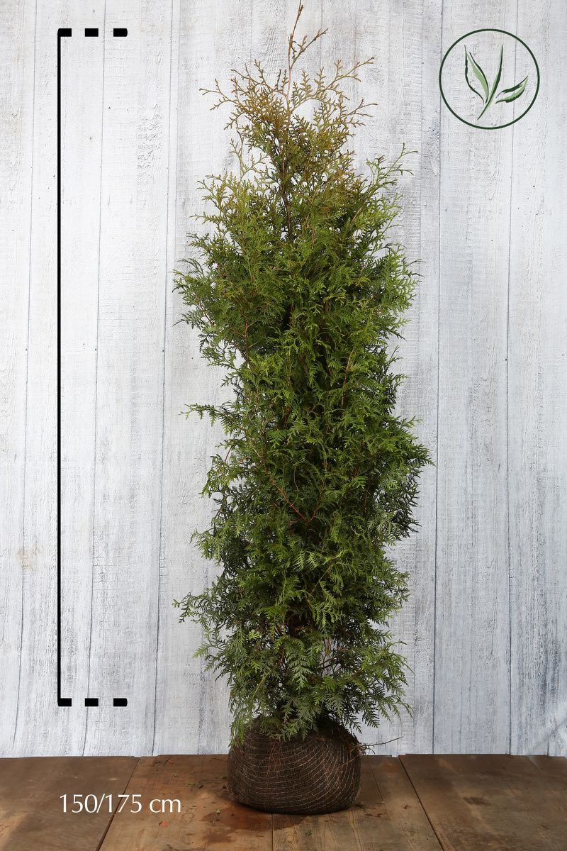 Thuja 'Brabant' Klump 150-175 cm Extra kvalitet