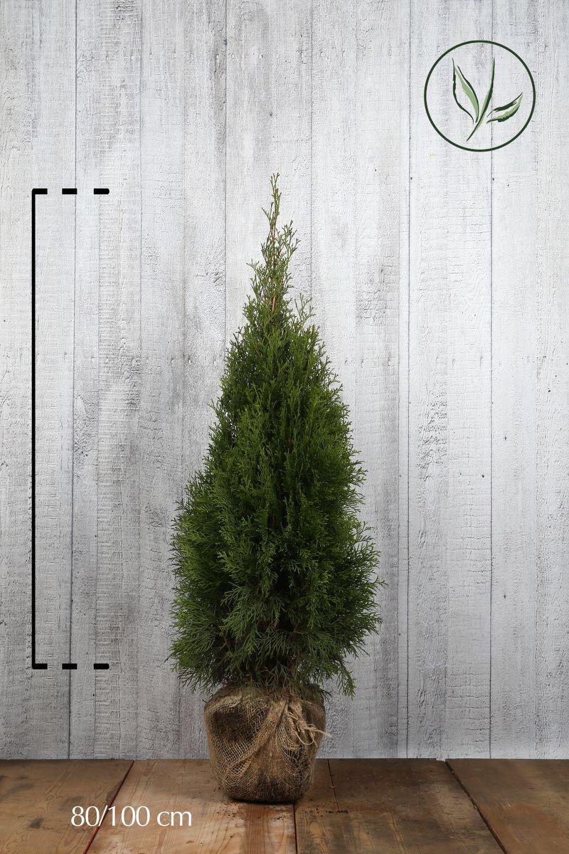 Thuja 'Smaragd' Klump 80-100 cm Extra kvalitet