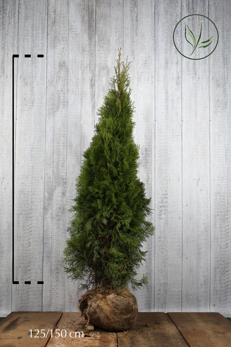 Thuja 'Smaragd' Klump 125-150 cm Extra kvalitet