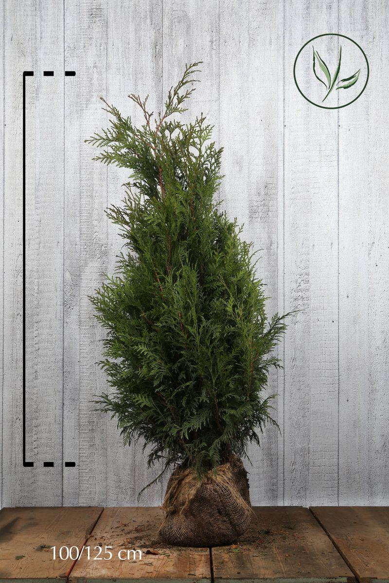 Thuja 'Martin' Klump 100-125 cm Extra kvalitet
