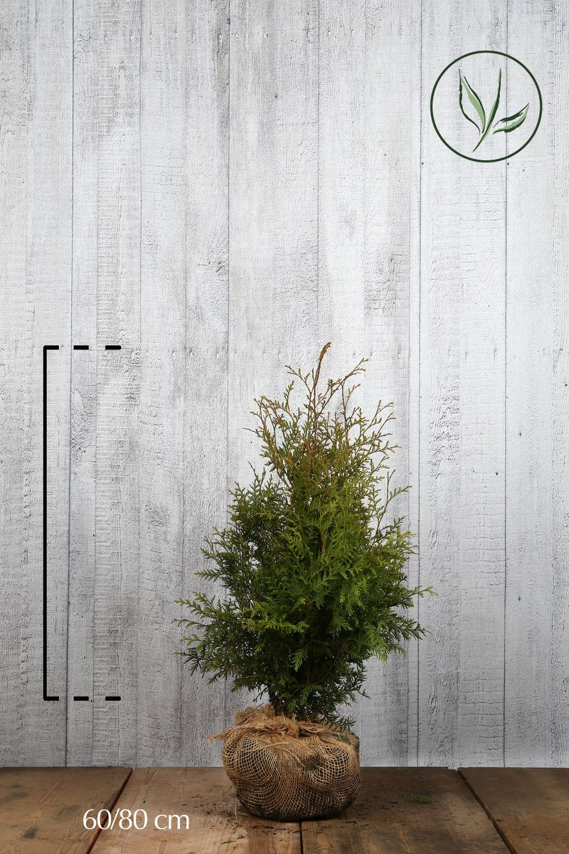 Thuja 'Brabant' Klump 60-80 cm Extra kvalitet