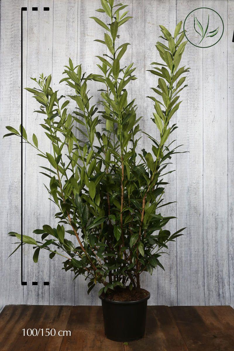 Lagerhägg 'Caucasica' Kruka 125-150 cm