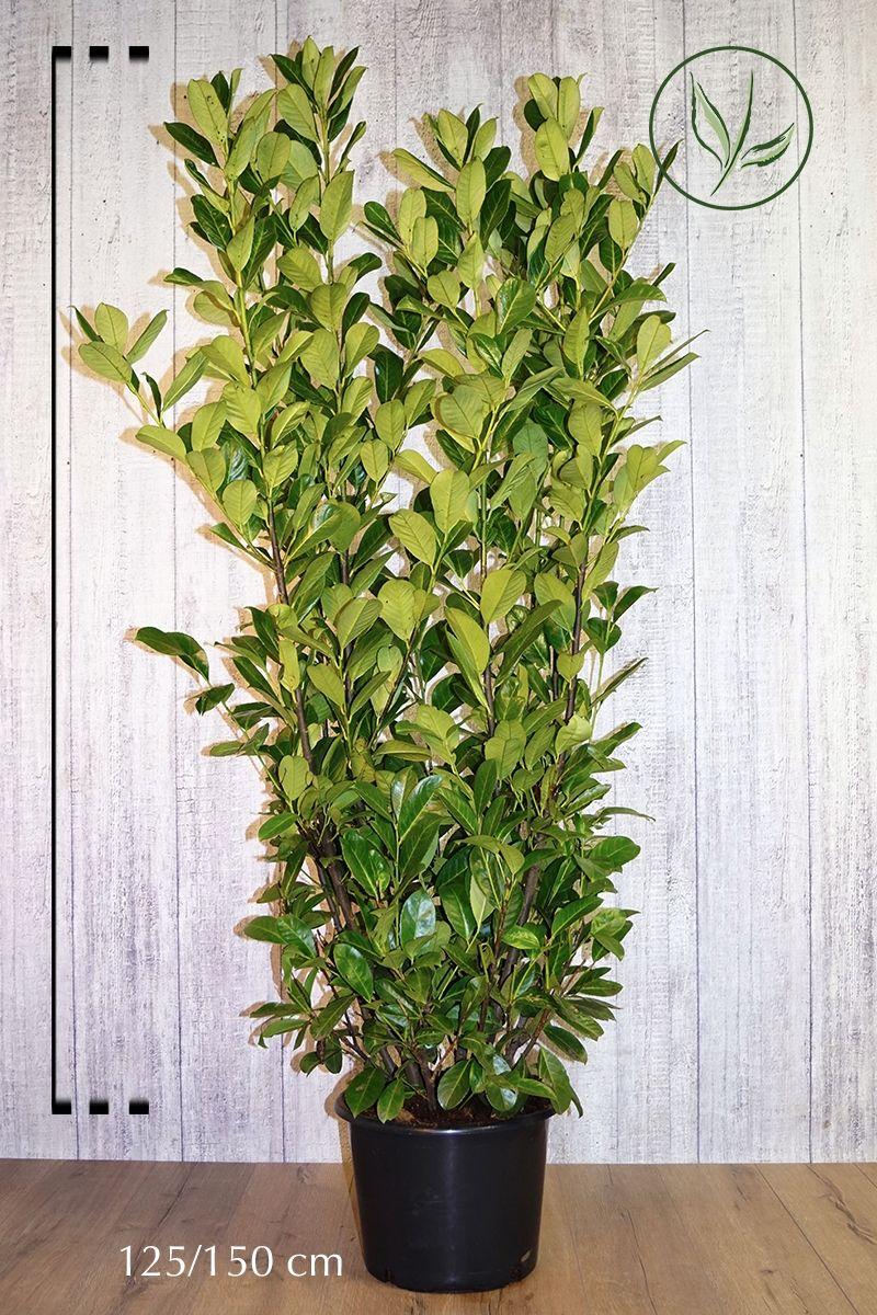 Lagerhägg 'Rotundifolia' Kruka 125-150 cm Extra kvalitet