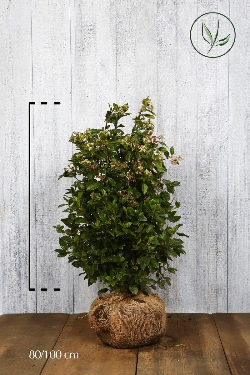 Lagerolvon Klump 80-100 cm