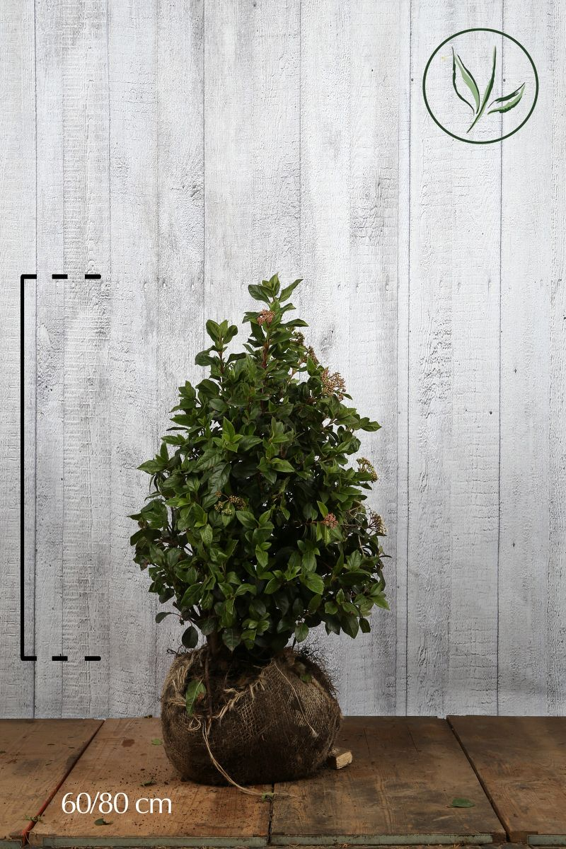 Lagerolvon Klump 60-80 cm