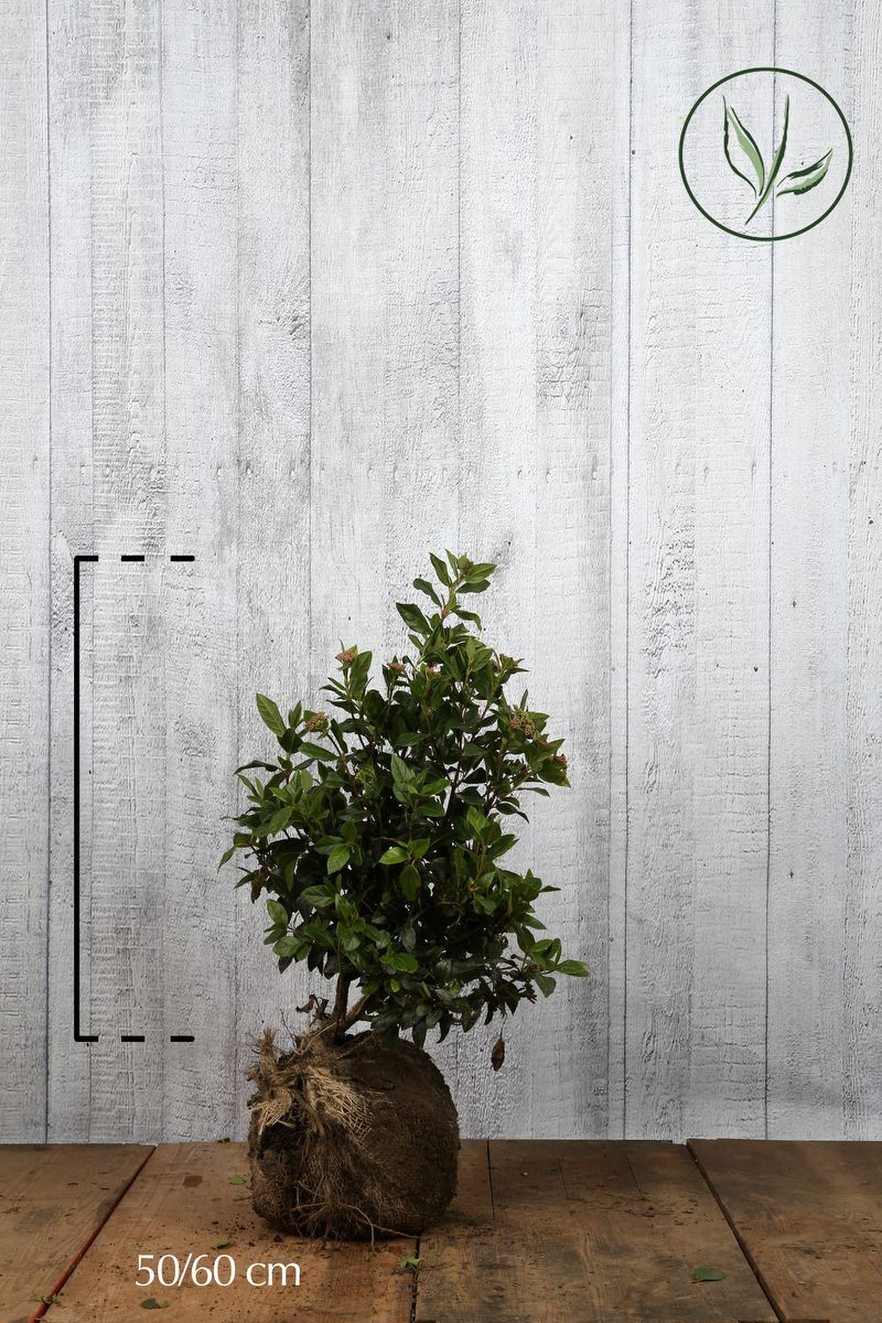 Lagerolvon Klump 50-60 cm