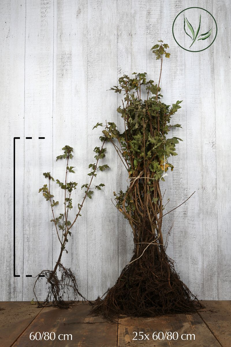 Naverlönn Barrotad 60-80 cm