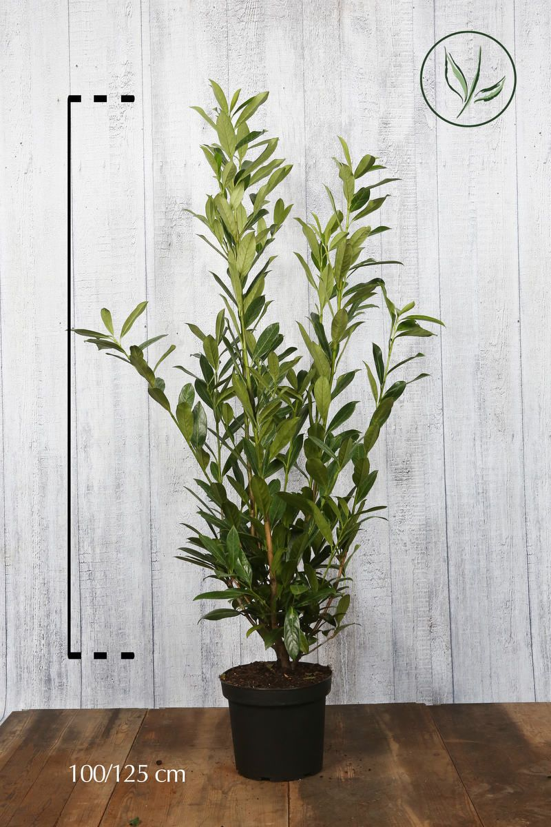 Lagerhägg 'Caucasica' Kruka 100-125 cm Extra kvalitet