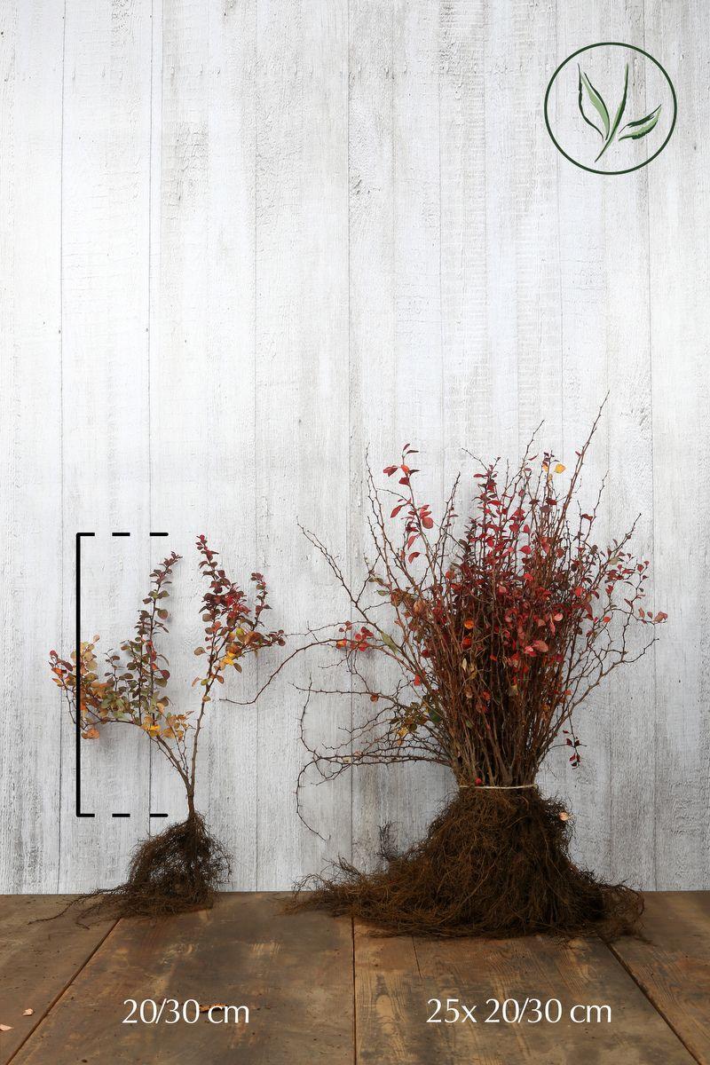 Röd häckberberis Barrotad 20-30 cm