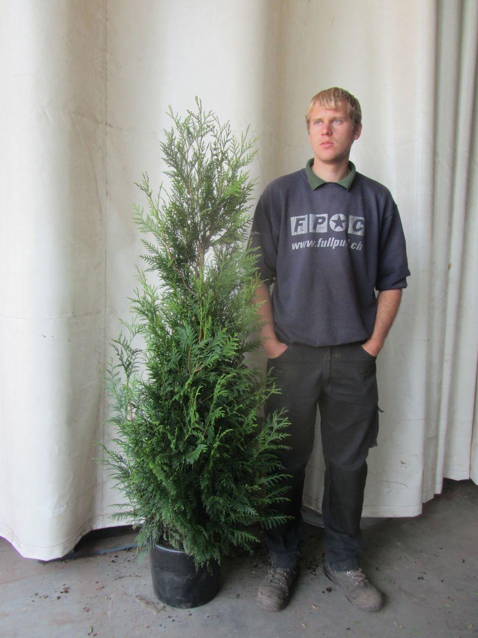 Thuja 'Martin' Kruka 175-200 cm Extra kvalitet