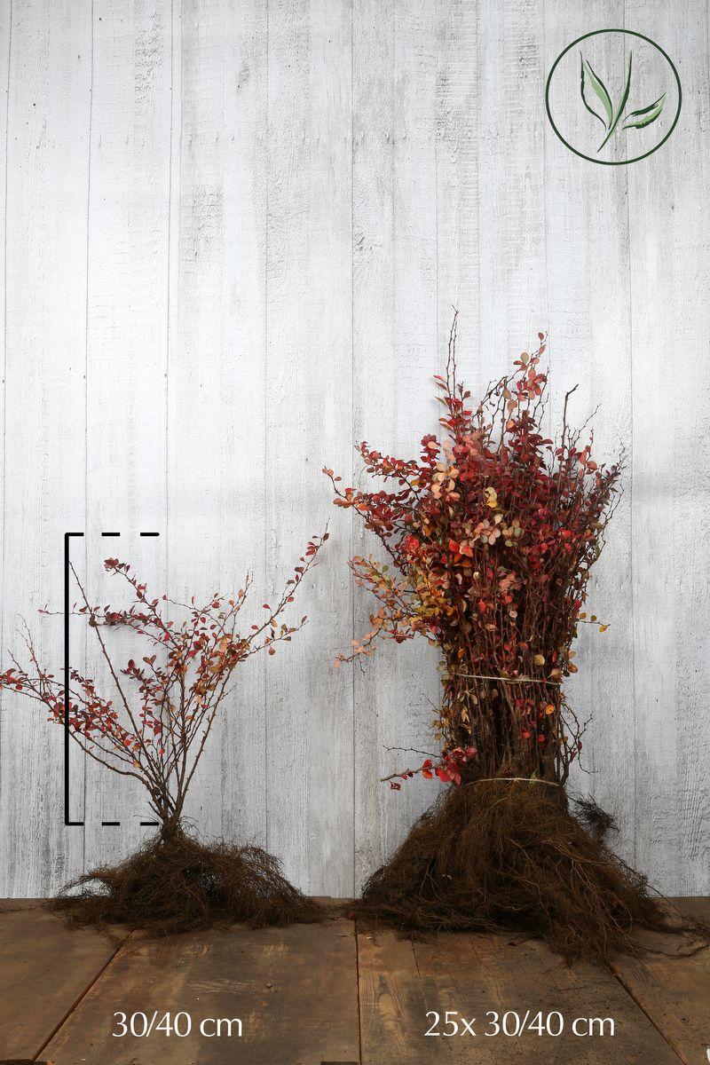 Röd häckberberis Barrotad 30-40 cm