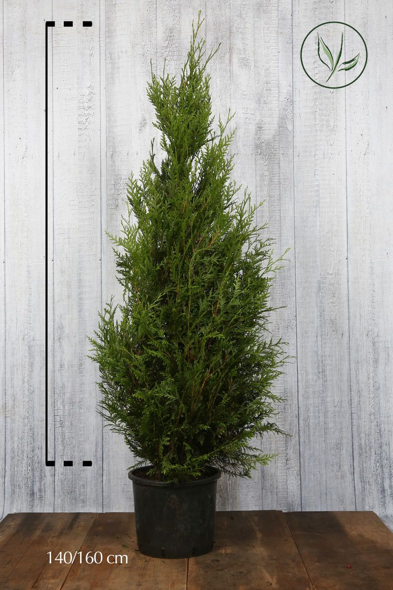 Thuja 'Atrovirens' Kruka 140-160 cm Extra kvalitet