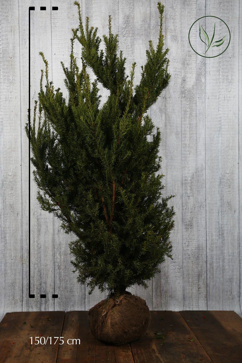 Hybrididegran 'Hicksii' Klump 150-175 cm Extra kvalitet