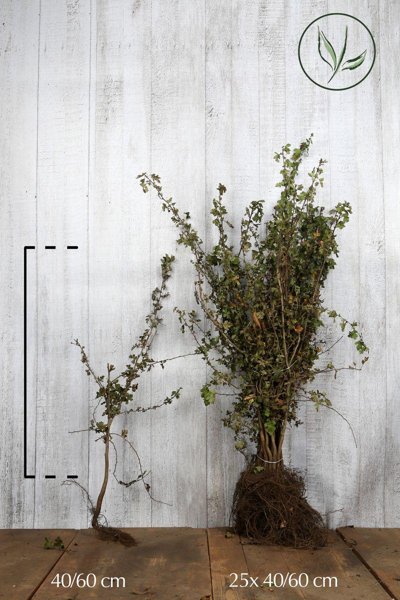 Trubbhagtorn Barrotad 40-60 cm